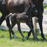 Trakehner colt Foaled 6/3/09 | Sire: Freestyle | Dam: Andante | Owner: Jean Kunz