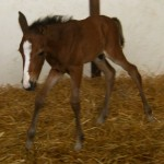 Warmblood Colt Foaled 5/10/09 | Dam: Astin | Owner: Mary Laurie