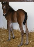 Morgan Filly Foaled 5/21/09 | Sire: Astronimically | Dam: Carley (ET) | Owner: Tara Good