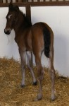 Morgan Colt Foaled 4/28/09 | Sire: Astronimically | Dam: Carley (ET) | Owner: Tara Good