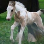 Gypsy Vanner Colt born 7/10/11 | Dam: Cologne | Owner: Cathy Sallas