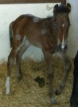 Warmblood Colt | Dam: Destiny | Owner: Brandywine Farm