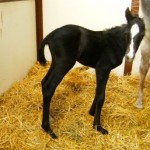 Oldenburg filly born 5/9/11 | Dam: Fayette | Owner: Beth Kucza