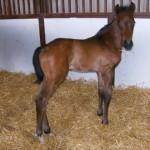 Thoroughbred colt born 4/28/11   Sire: Dazzling Falls   Dam: Jazzy Lafleet   Owner: Kurt Kindschuh