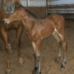 Warmblood Filly Foaled 3/31/09 | Sire: Cassini II | Dam: Kahluah (ET) | Owner: Underhill Farm