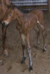 Warmblood Colt Foaled 4/27/09 | Sire: Cicero Z | Dam: Kahluah (ET) | Owner: Underhill Farm