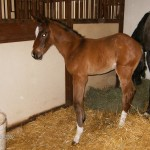 Warmblood Filly | Sire: Royal Charger | Dam: Lalique | Owner: Brandywine Farm