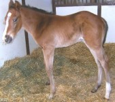Masqued Monarch's Colt born 3/18/2011 | Sire: Alphabet Soup | Dam: Masqued Monarch | Owner:  Dr. Joel Zamlow
