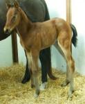 Thoroughbred colt born 3/21/2011   Sire: Monarchos   Dam: Masquerade Stars   Owner:  Dr. Joel Zamlow