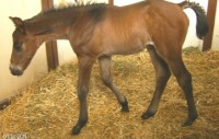 Warmblood colt born 4/4/11 | Sire: Cafu | Dam: Olivia | Owner: Underwood Farm