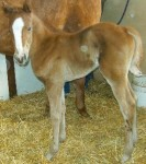 Quarter Horse filly born 3/20/11 | Sire: Cartel Success | Dam: Paranoidski | Owner: Bob & Julie Peterson