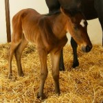 Thoroughbred filly born 4/10/11 | Sire: Blumin Affair | Dam: Sahm Sweetheart | Owner: Eric & Mary Von Seggern