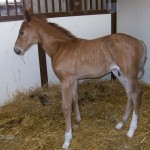 Andalusian Colt Foaled 5/16/09 | Sire: Diablo | Dam: Sammie | Owner: Bobbi Erickson