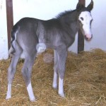 Paint filly born 4/3/11 | Sire: A Dancin Impulse | Dam: Scarlet Ofancy | Owner: Jim & Barb Charpentier