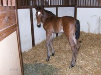 Warmblood Colt Foaled 4/25/11 | Dam: Opal | Owner: Wild Oak Farm