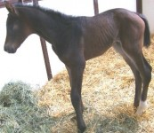 Quarter Horse filly born 4/3/11 | Sire: Hot Ones Only | Dam: Sultry Sky | Owner: Dawn Schroeter