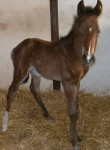 Warmblood Colt Foaled 4/26/09 | Sire: Schroeder | Dam: Swinger | Owner: Carrie Calder