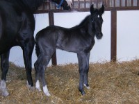 Quarter Horse filly born 4/28/12 / Sire: One Hot Invitation / Dam: CC / Owner: Leah Larson