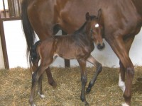 Warmblood filly born 5/31/12 / Sire: Dansey / Dam: Dee Dee / Owner: Brandywine Farm, Bill Solynjes & Lloyd Landkamer