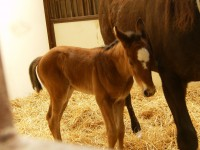 Thoroughbred colt born 3/16/12 / Sire: Harlans Holiday / Dam: Masqued Monarch / Owner: Dr. Joel Zamzow, North Shore Racing