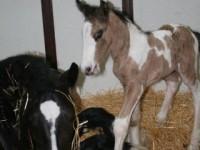 Gypsy Vanner colt born 6/15/12  /  Sire: Wildfire / Dam: Shebari  /  Owner: Cathy Sallas