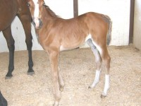 Saddlebred filly born 7/6/11   /  Sire: Gothic Revival  /  Dam: Rosa  /  Owner: Brittany Balagna