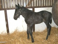 Irish Draught filly born 5/16/12 / Sire: Touch of the Blues / Dam: Starlite / Owner: Longfield Farm, Jennifer Stevens
