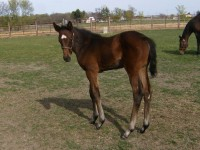 TB filly born 3/6/12 / Sire: Zanjero / Dam: Victorious Vicki / Owner: Jeff Drown