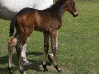 Thoroughbred colt born 4/13/12. / Sire: Dazzling Falls / Dam: Wa Sarah / Owner: Eric and Mary Von Seggern