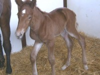 Holsteiner colt born 4/23/13.  Sire: Gemini  Dam: Belini  Owner: Underhill Farm