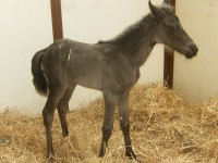 Missouri Foxtrotter filly born 6/24/13. Sire: Chocolatier  Dam: Jesters Chocolate Chip K  Owner: Frankie Graham