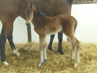 Thoroughbred filly born 2/10/13  Sire:  Philanthropist   Dam: Dahlia Walk   Owner: Black Oak Farm, Sherri Tracy