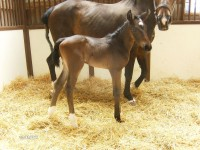 Hanovarian filly born 5/17/13.  Sire: Fidertanz  Dam: Denira  Owner: John & Mary Schramel