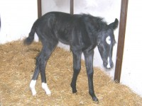 Warmblood filly born 2/26/13.  Sire:  Swarovski   Dam: Destiny   Owner: Brandywine Farm