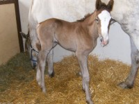 Irish Draught filly born 5/23/13. Sire: Tors Murphy Maginty  Dam: Grania  Owner: Jennifer Stevens, Longfield Farm