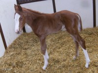 Thoroughbred colt born 3/11/13.  Sire: Heart of the Storm  Dam: Isola Rosa  Owner: Black Oak Farm, Sherri Tracy
