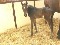 Thoroughbred colt born 3/24/13.  Sire: Giant Oak  Dam: Missy N   Owner: Wind N Wood Farm