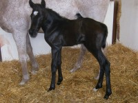 Thoroughbred filly born 6/7/13. Sire: Category Five  Dam: Moray  Owner: Debra Quarne, Mesa Farms