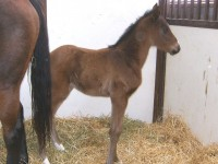 Thoroughbred filly born 1/28/13.  Sire: Military  Dam: Morning Ride  Owner: Dr. Joel Zamzow, North Shore Racing