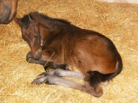 Warmblood filly born 3/15/13.  Sire:  Furstenball  Dam: Rosa   Owner: Brandywine Farm