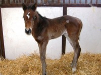 Thoroughbred filly born 1/26/13. Sire: Dazzling Falls  Dam: Sahm Sweetheart  Owner: Eric & Mary Von Seggern