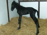 Irish Draught colt born 5/12/13.  Sire: Celtic Moon  Dam: Stoneygate Starlite  Owner: Jennifer Stevens, Longfield Farm