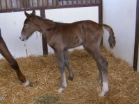 Irish Draught colt born 5/5/13.  Sire: Heathercombe Calico  Dam: Tarawood  Owner: Jennifer Stevens, Longfield Farm