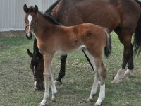 Thoroughbred filly born 3/28/13.  Sire: Zanjero  Dam: Tulip Creek  Owner: Wind N Wood Farm