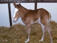 Thoroughbred filly born 2/15/13.  Sire: D'Funnybone   Dam: Xtra Dash   Owner: Black Oak Farm, Sherri Tracy