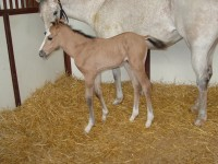 Quarter Horse colt born 5/20/14 Sire: Frenchmans Royal CJ Dam: Bixby's Blue Devil Owner: Lindsey Burdick