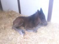 Thoroughbred colt born 3/17/14 Sire: Einstein Dam: Carousing Owner: Al & Bill Ulwelling