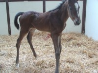 Thoroughbred colt born 4/29/14 SIre: Gemologist Dam: Funny Girl Rachel Owner: Jeff Drown