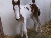 Pinto filly born 2/1/14 Sire: Sky Dam: Honey Dew Owner: Matt Baker