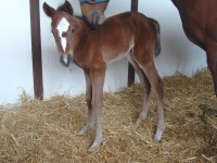 Thoroughbred filly born 4/14/14 Sire: Double Honor Dam: Inabundance Owner: Sherri Tracy